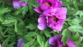 Beautiful peony blossoms bush in summer  garden stock footage