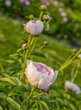 Beautiful peony bush Royalty Free Stock Image