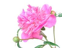 Free Beautiful Peony Flower And Buds On White Background Stock Photo - 110304580