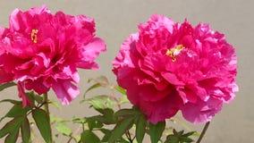 Beautiful peony flower stock video