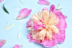 Beautiful peony flower on color background. Closeup Stock Images