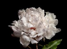 Beautiful peony flower on dark background,. Closeup royalty free stock photography