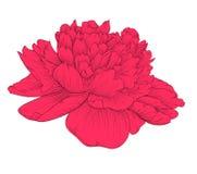 Beautiful peony flower isolated on background. Stock Photo