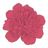 Beautiful peony flower isolated on background. Royalty Free Stock Photo
