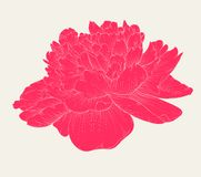 Beautiful peony flower in vintage colors isolated on background. Stock Images