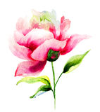 Beautiful Peony flower Royalty Free Stock Images