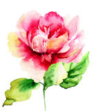Beautiful Peony flower Stock Photography