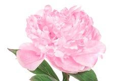 Beautiful peony flower on white background,. Closeup stock image