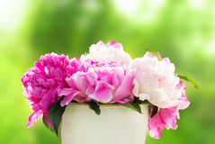 Beautiful peony flowers on a background of green grass Stock Images