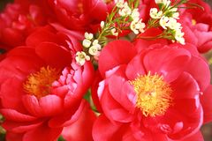 Beautiful peony flowers, closeup. Beautiful peony flowers, close up Royalty Free Stock Photos