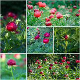 Beautiful peony flowers collage Stock Photography