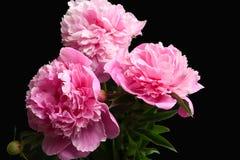 Beautiful peony flowers on dark background,. Closeup Royalty Free Stock Photos