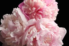 Beautiful peony flowers on dark background,. Closeup Royalty Free Stock Photography