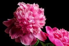 Beautiful peony flowers on dark background,. Closeup Stock Photos