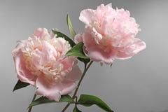 Beautiful peony flowers on grey background,. Closeup Royalty Free Stock Image