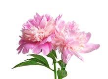 Beautiful peony flowers. On light background Stock Photography