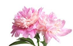 Beautiful peony flowers on light background. Closeup Stock Images