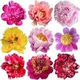 Beautiful peony flowers set Royalty Free Stock Photography