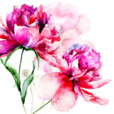 Beautiful Peony flowers Royalty Free Stock Photo