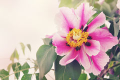 Beautiful peony, tinted. Beautiful pink peony flower tree, closeup tinted Royalty Free Stock Photography