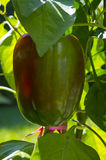 Beautiful Pepper. This is a wonderful image of a beautiful pepper ripening on the vine. I can almost see it turning red as I look at the picture stock photography