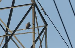 A beautiful Peregrine falcon, Falco peregrinus perching at the top of a electricity pylon. A stunning Peregrine falcon, Falco peregrinus perching at the top of royalty free stock images