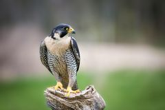 A beautiful peregrine falcon sitting on a tree. A close up a beautiful peregrine falcon sitting on a tree royalty free stock image