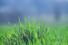 Beautiful and perfect green background by the fresh grass. Royalty Free Stock Photos