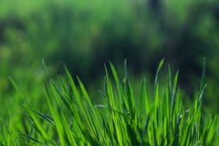 Beautiful and perfect green background by the fresh grass. Royalty Free Stock Image