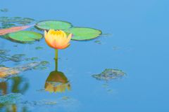A beautiful, perfect, light peach lotus flower in full bloom, in an algae-ridden pond in a lush Thai garden park. A beautiful, perfect, light peach lotus flower Royalty Free Stock Photo