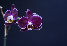 Beautiful perilla purple orchid Stock Image