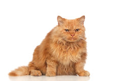 Beautiful persian cat Stock Photo