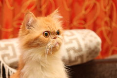 Beautiful persian cat on a background of the home environment Stock Photos