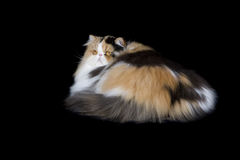 Beautiful Persian  cat on black background Royalty Free Stock Image