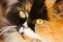 Beautiful Persian cat close-up. Tri-color for good luck stock photos