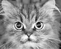 Beautiful Persian Cat royalty free stock photos