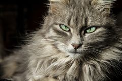Beautiful Persian cat with long gray hair looks at you with his eyes of a magical deep green royalty free stock image