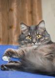 Beautiful Persian cat lying on the bed closeup Stock Photos