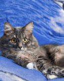 Beautiful Persian cat lying on the bed closeup.  Royalty Free Stock Photography