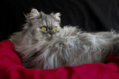 Beautiful persian cat Stock Image