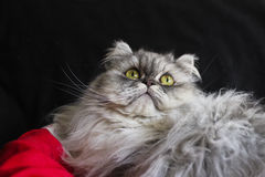 Beautiful persian cat Royalty Free Stock Photos