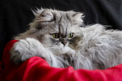 Beautiful persian cat Royalty Free Stock Image