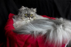 Beautiful persian cat Stock Images