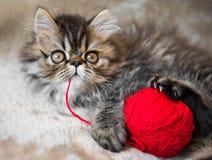 Beautiful Persian kitten cat with knitting thread stock photos