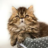 Beautiful Persian kitten cat marble color coat royalty free stock image