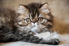 Beautiful Persian kitten cat marble color coat is playing with white feather stock photos