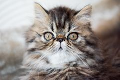 Beautiful Persian kitten cat marble color coat. Portrait, three weeks old royalty free stock photos