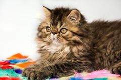 Beautiful Persian kitten cat marble color coat on white background stock images