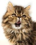 Beautiful Persian kitten cat muzzle. Cat now says meow royalty free stock photos