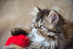 Beautiful Persian kitten cat profile with red heart stock photo